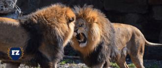 драка львов гл